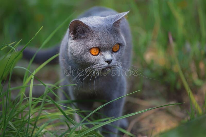 Caminhadas de gato cinzentas do puro-sangue na grama verde fotografia de stock