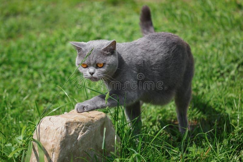 Caminhadas de gato cinzentas do puro-sangue na grama verde imagem de stock