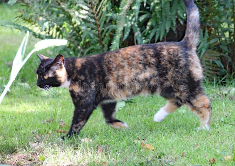 Caminhadas de gato da chita na grama em um dia de verões quente imagens de stock
