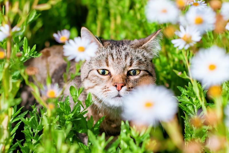 Caminhadas de gato felizes bonitas do gato malhado na grama ensolarada brilhante e em aspirar as flores da camomila sob o sol mor fotos de stock