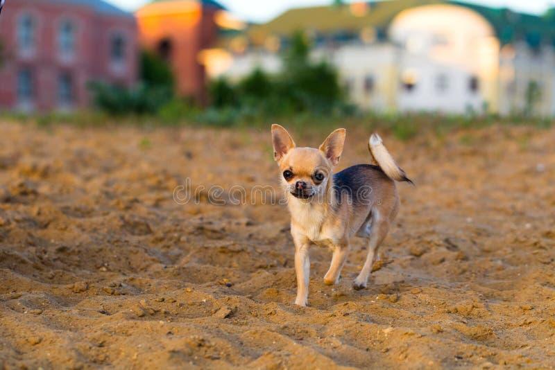 Caminhadas do cão da chihuahua fotografia de stock