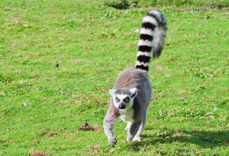 Caminhadas do lemur Ring-tailed imagem de stock royalty free