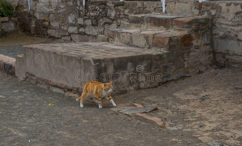 Caminhadas felinos do gengibre-colred no pavimento empoeirado imagens de stock royalty free