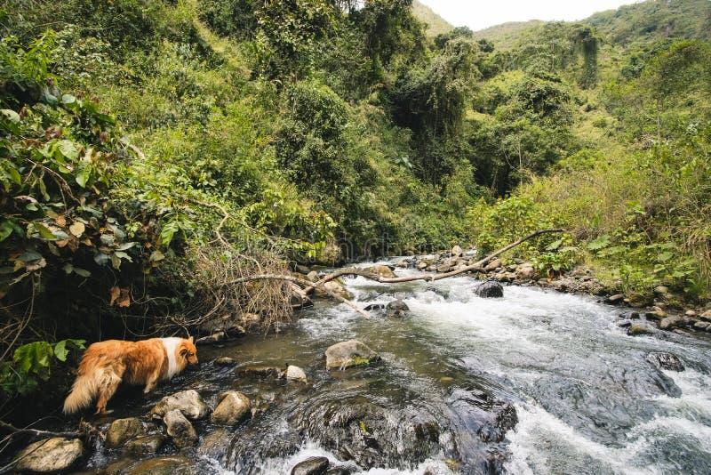 Caminhando o cão em Colômbia fotos de stock royalty free