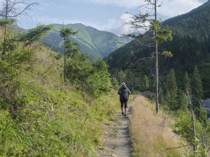 Caminhante dos homens com o chapéu e a trouxa que caminham no trajeto do dolina de Ziarska Grama verde luxúria, árvores do abeto  imagens de stock