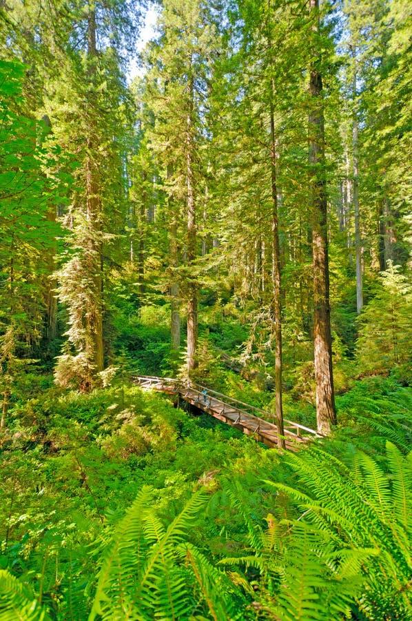 Caminhante e ponte empequenecidos pela floresta da sequóia vermelha imagem de stock royalty free