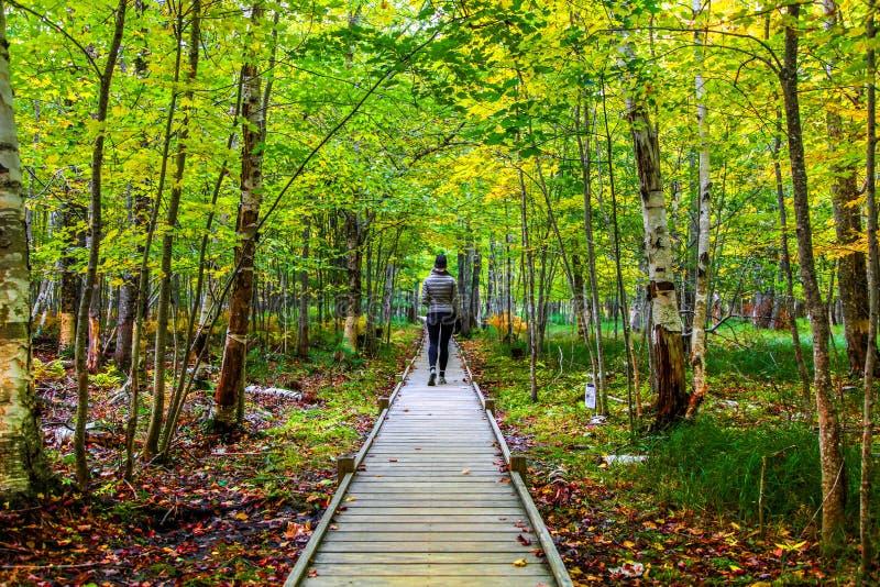 Caminhante fêmea no passeio de madeira da fuga de Jesup entre a folhagem de outono imagem de stock