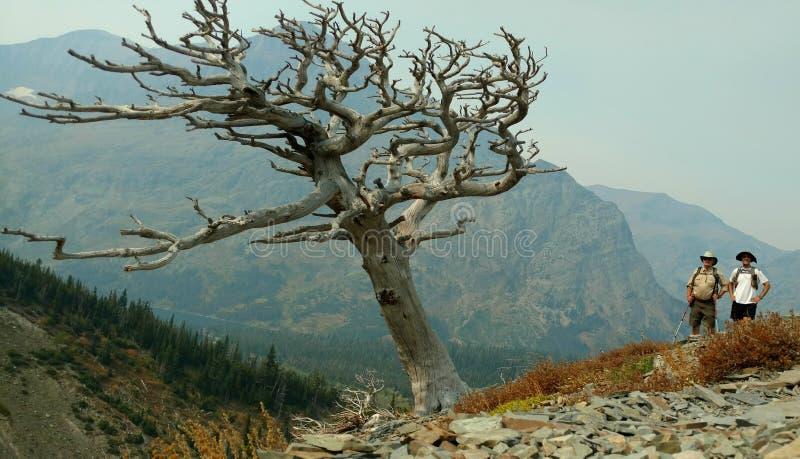 Caminhantes ao lado da árvore cinzenta grande no parque nacional de geleira imagem de stock
