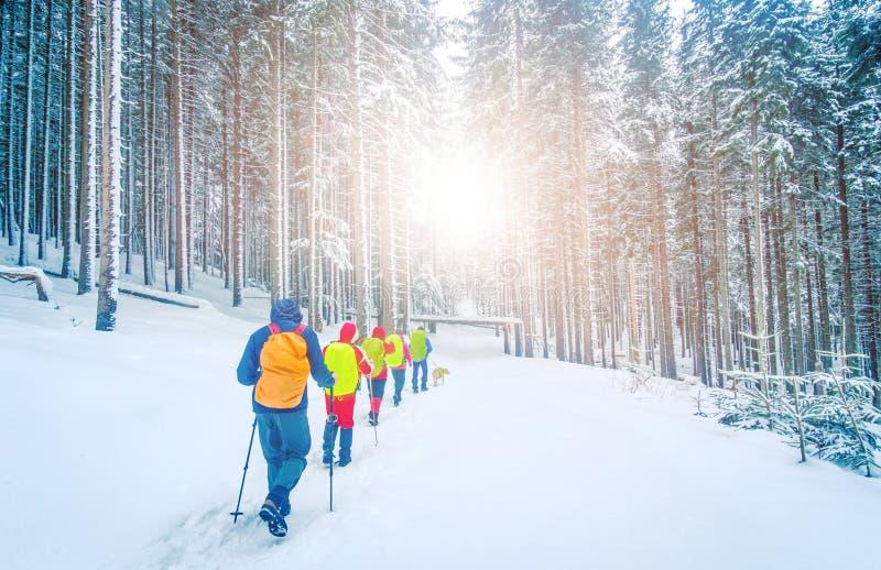 Caminhantes na floresta coberto de neve do pinho no inverno imagem de stock royalty free