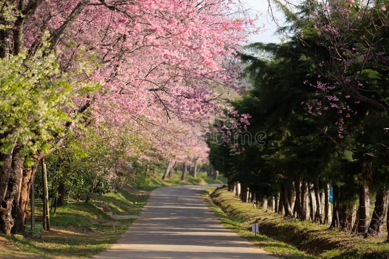 Caminho bonito de flores cor-de-rosa Sakura tailandês da flor de cerejeira que floresce na estação do inverno foto de stock royalty free