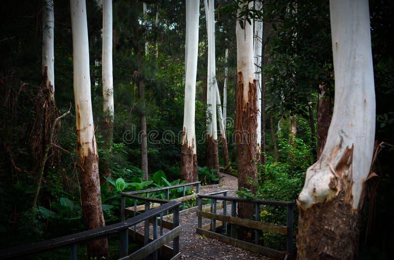 Caminho encantador e passeio à beira mar através dos troncos de árvore brancos espectrais do eucalipto em uma floresta escura fotografia de stock
