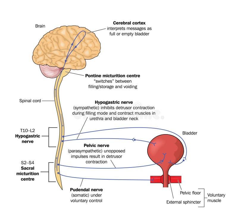 Caminhos de nervo à bexiga ilustração do vetor