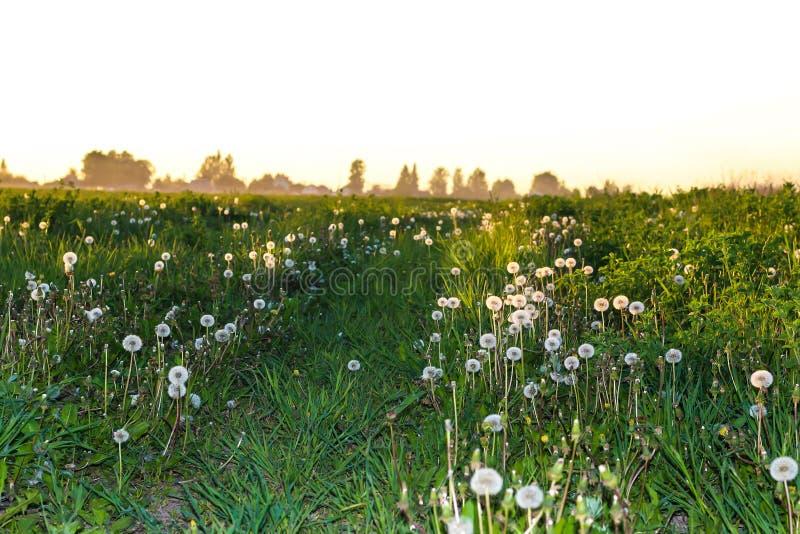Camino al pueblo en el medio de un campo de dientes de león en la puesta del sol fotos de archivo