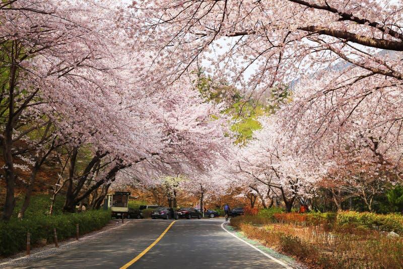 Camino de Anmin con los cerezos florecientes en Jinhae, Corea imágenes de archivo libres de regalías