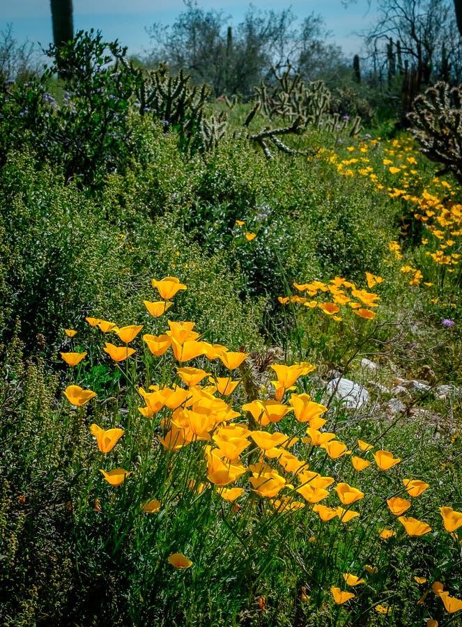Camino de la amapola sin embargo los cactus foto de archivo libre de regalías