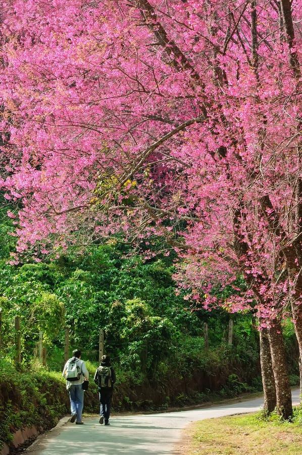 Download Camino De La Flor De Cerezo En Un Jardín Hermoso Del Paisaje Foto de archivo - Imagen de color, avenida: 43742648