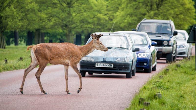 Camino de la travesía de los ciervos como esperas del tráfico imagen de archivo