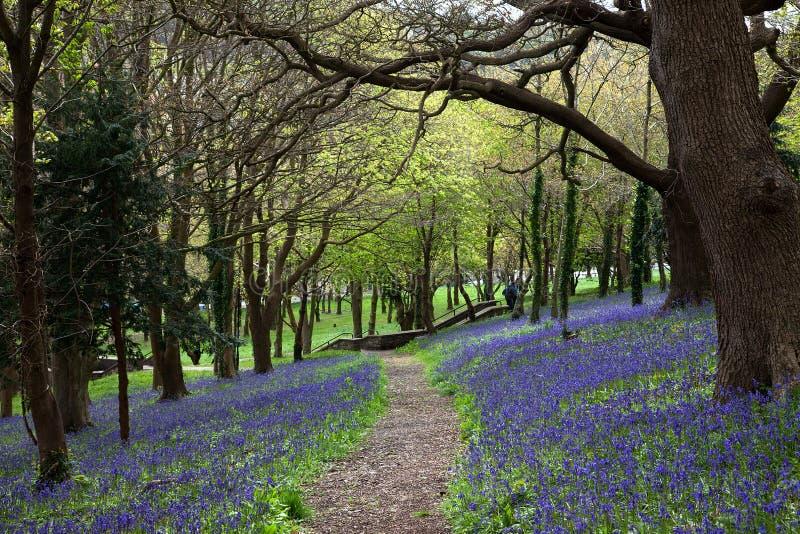 Camino de madera del Bluebell imágenes de archivo libres de regalías