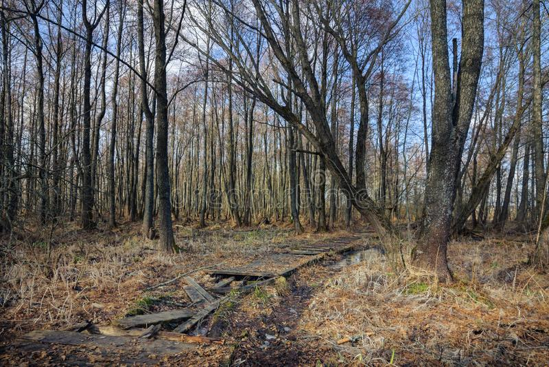 Camino de madera quebrado abandonado viejo a través de un pantano seco del bosque fotos de archivo