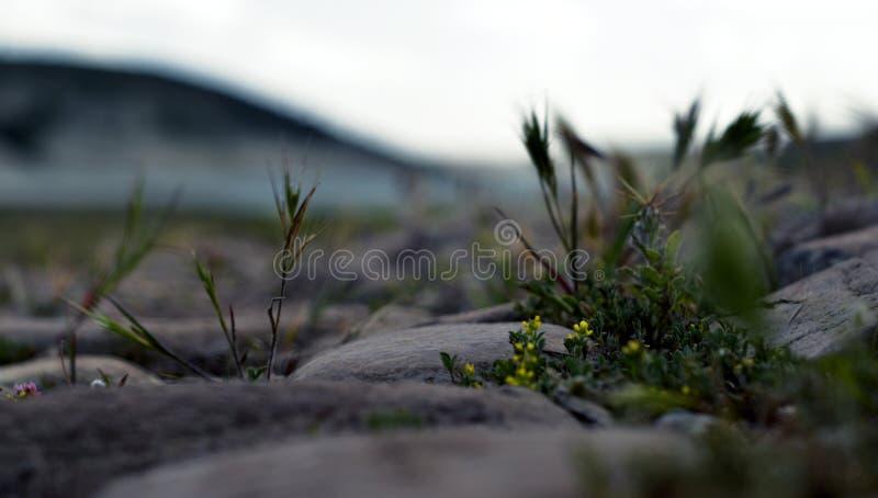 Camino de piedra antiguo con el crecimiento de flores en las grietas imagen de archivo