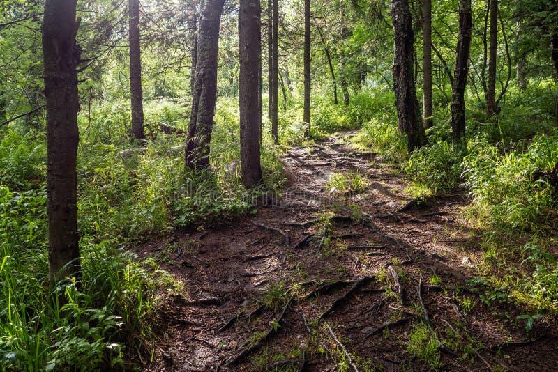 Camino de tierra a través del bosque de hojas caducas de la primavera en una mañana de niebla imagenes de archivo