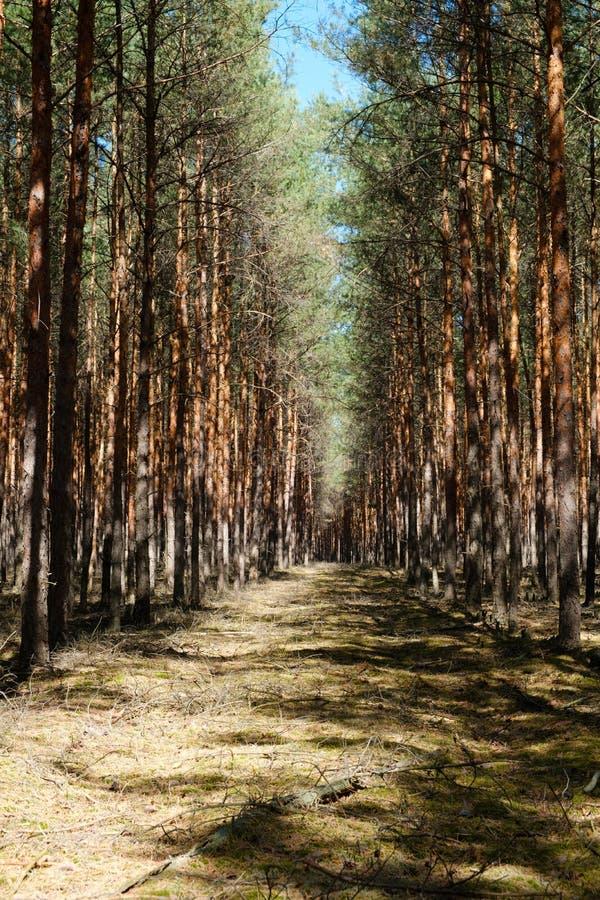 Camino del claro del bosque en el bosque del árbol conífero - árboles de pino imágenes de archivo libres de regalías