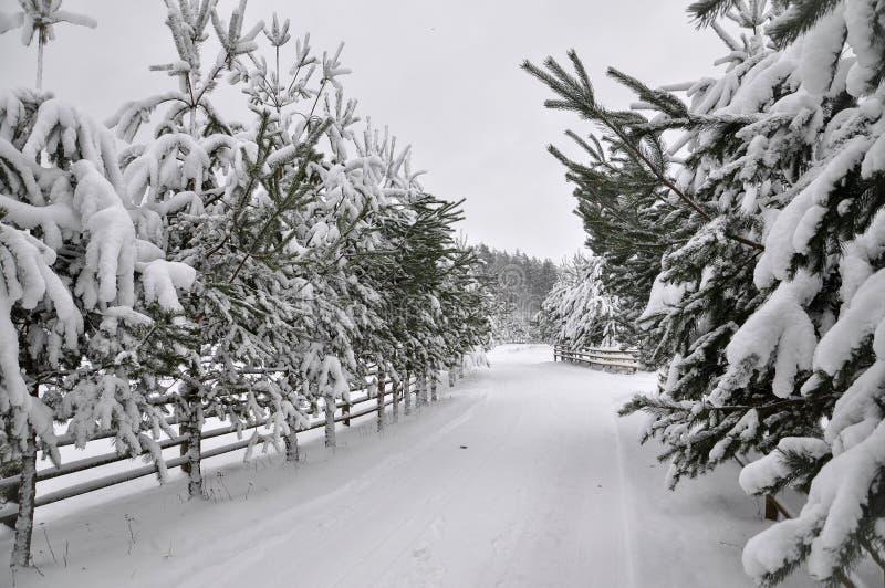 Camino del invierno con una cerca de madera y los abetos a ambos lados del camino imagen de archivo