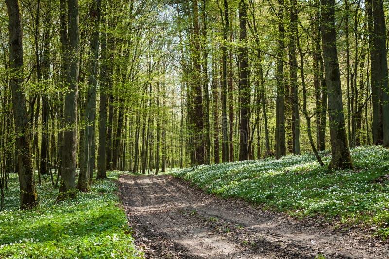 Camino en bosque con windflower imagen de archivo