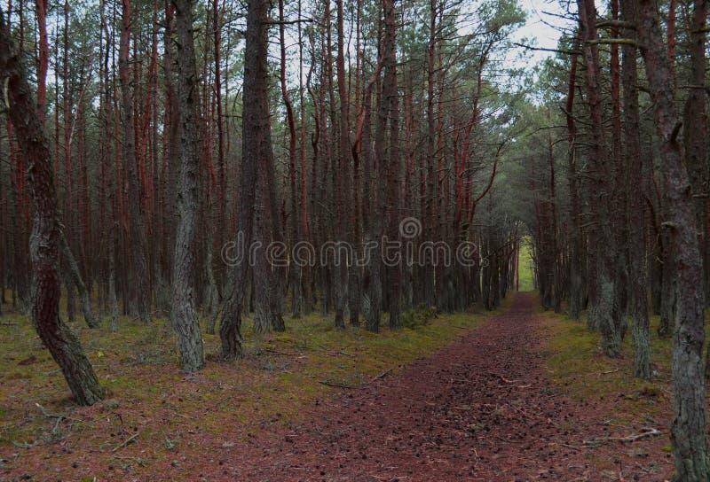 Camino en el bosque del pino imágenes de archivo libres de regalías