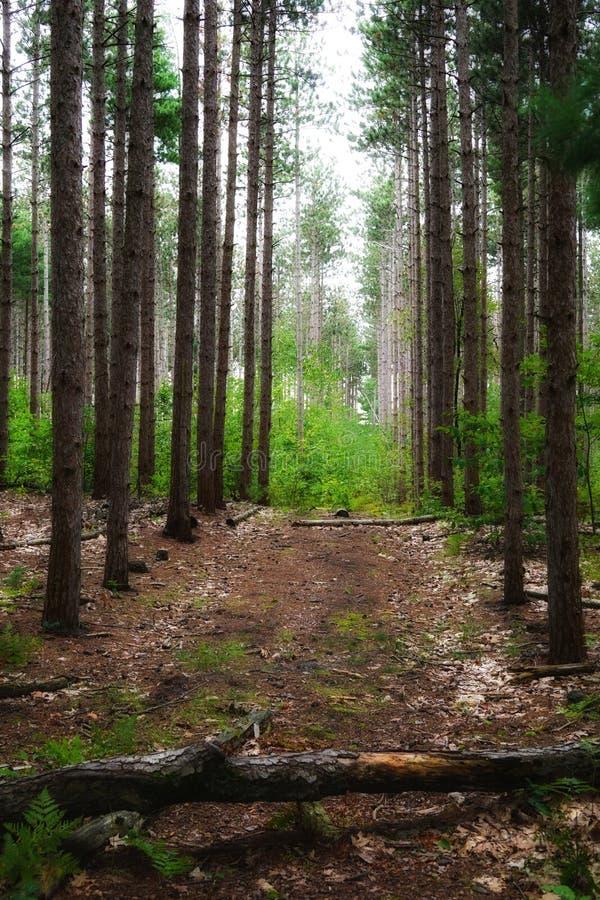 Camino en el bosque entre los árboles con el tronco falled fotos de archivo