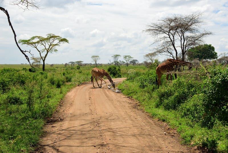 Camino en Serengeti, Tanzania fotos de archivo libres de regalías