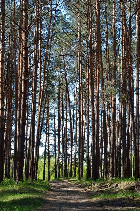Camino en un bosque Bryansk del pino foto de archivo