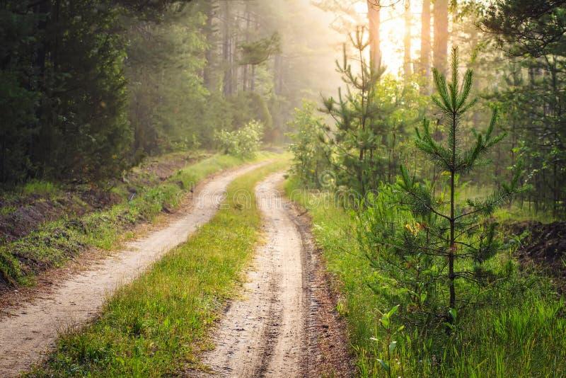Camino forestal en la salida del sol Paisaje del bosque con los pequeños árboles de pino a fotografía de archivo libre de regalías