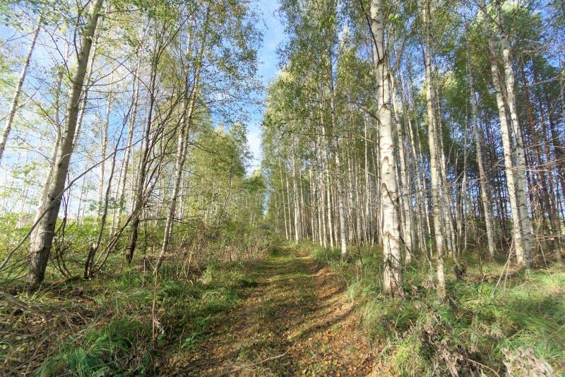 Camino forestal en oto?o temprano Soporte de la pared de los ?rboles a la izquierda e a la derecha del camino fotos de archivo