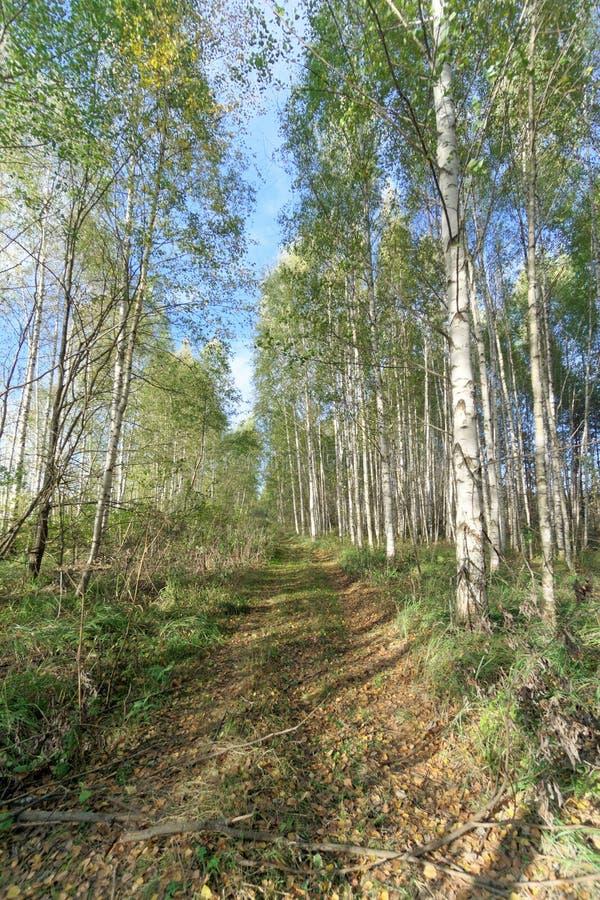 Camino forestal en oto?o temprano Soporte de la pared de los ?rboles a la izquierda e a la derecha del camino fotos de archivo libres de regalías