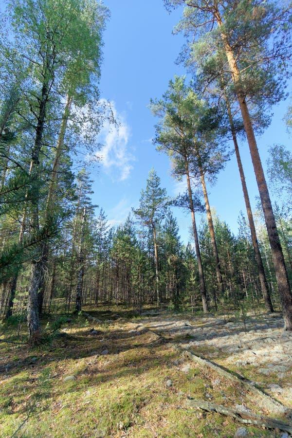 Camino forestal en oto?o temprano Soporte de la pared de los ?rboles a la izquierda e a la derecha del camino imagenes de archivo