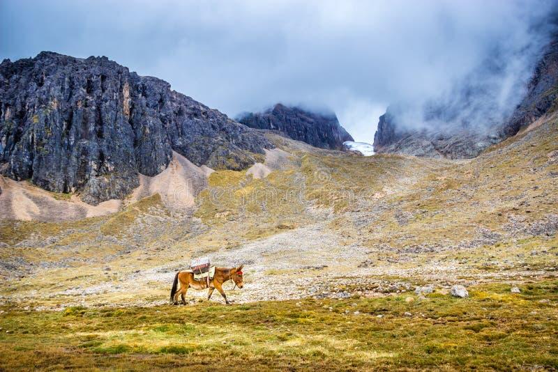Camino Inca, Perú - Caballo andino caminando por la Cumbre del Paso Huakawasi, en el Camino Inca imagenes de archivo