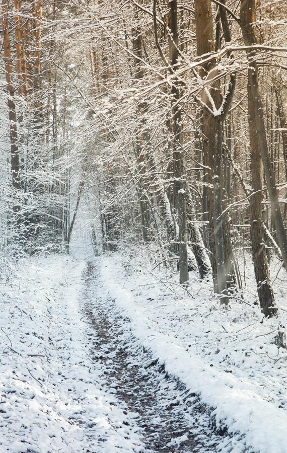 Camino que camina entre los árboles en un bosque nevoso imagen de archivo libre de regalías