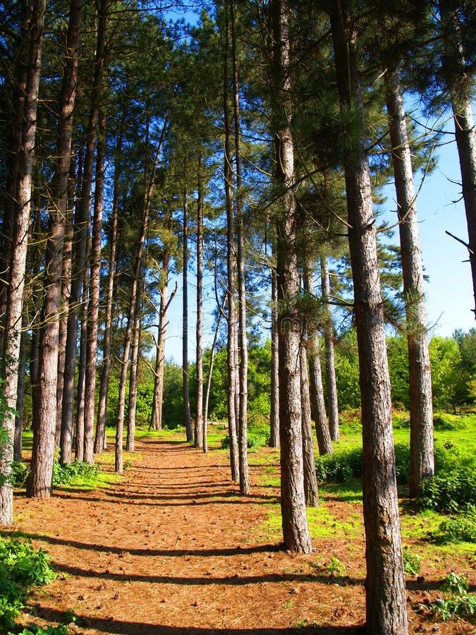Camino a través de árboles de pino fotos de archivo libres de regalías