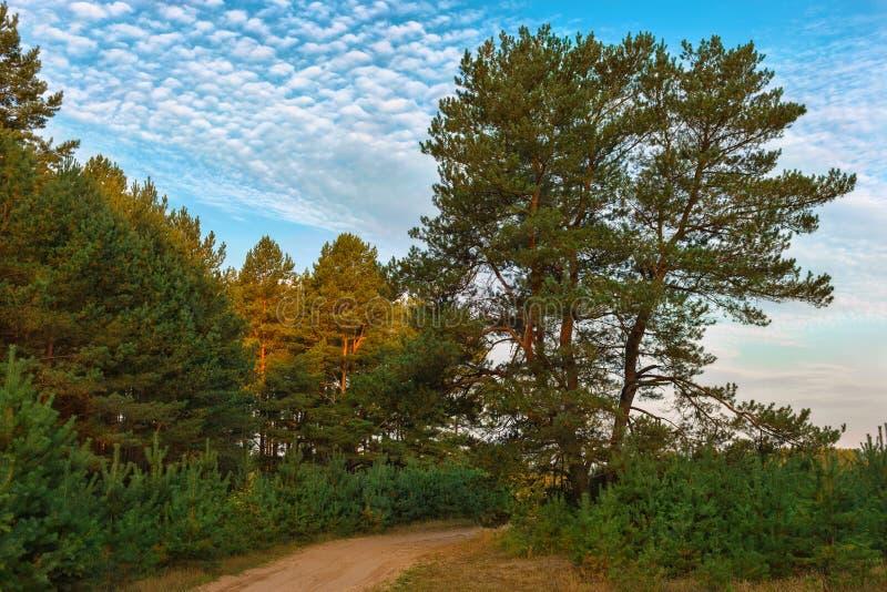 Camino a través de un bosque del pino imagen de archivo libre de regalías