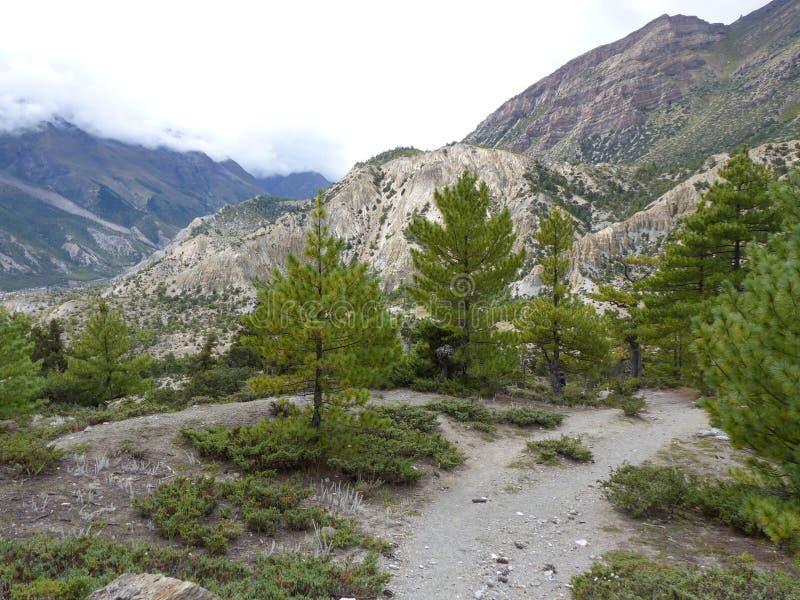 Camino a través del bosque del pino fotografía de archivo