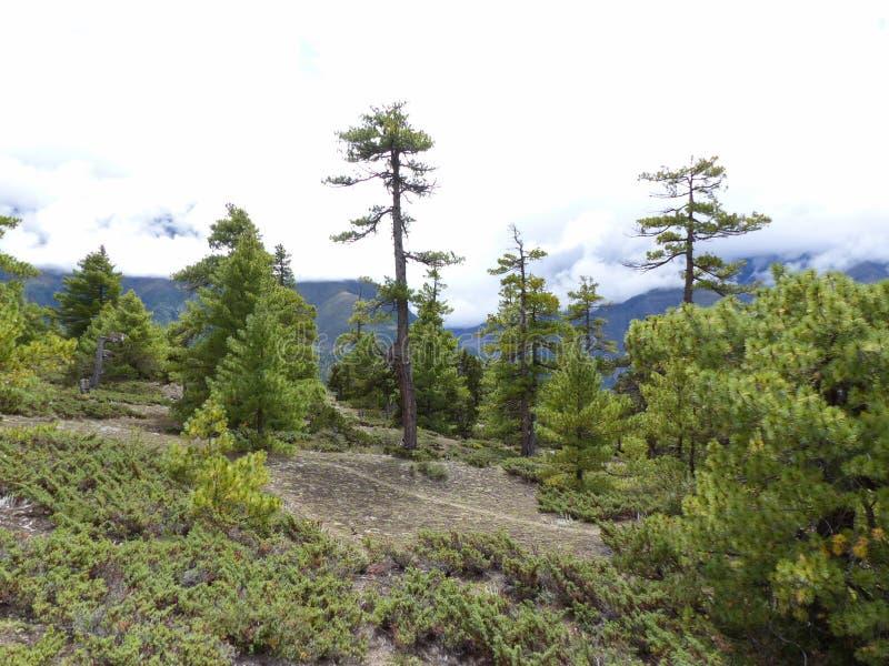 Camino a través del bosque del pino foto de archivo