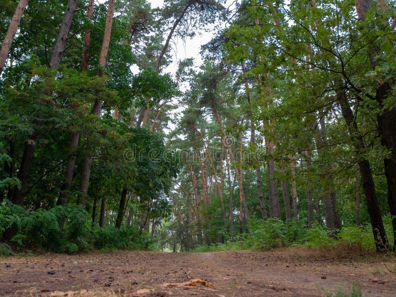 Camino a través del camino forestal hermoso del pino en el bosque del pino foto de archivo libre de regalías