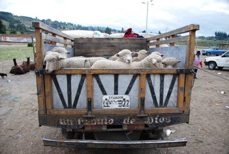 Camion del Ecuadorian in pieno con le pecore fotografie stock libere da diritti