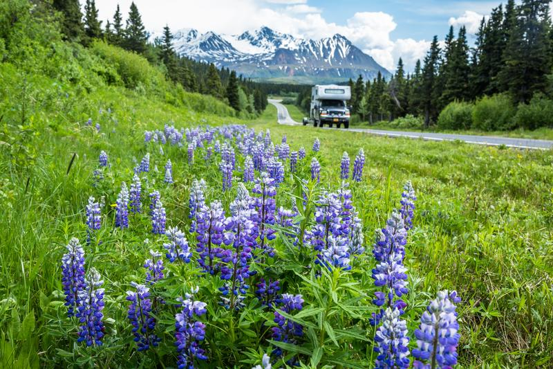 Camion pick-up et campeur conduisant le champ passé des wildflowers pourpres de lupin sur Richardson Highway en montagnes du delt photos libres de droits