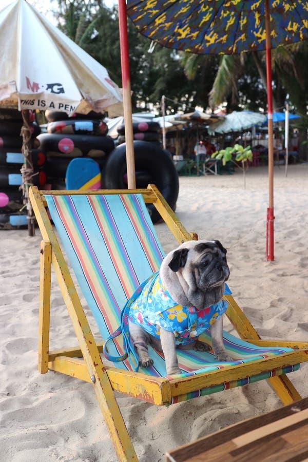 Camisa azul bonita do sorriso bonito do Pug do cão Sente-se em uma cadeira de praia azul fotografia de stock royalty free