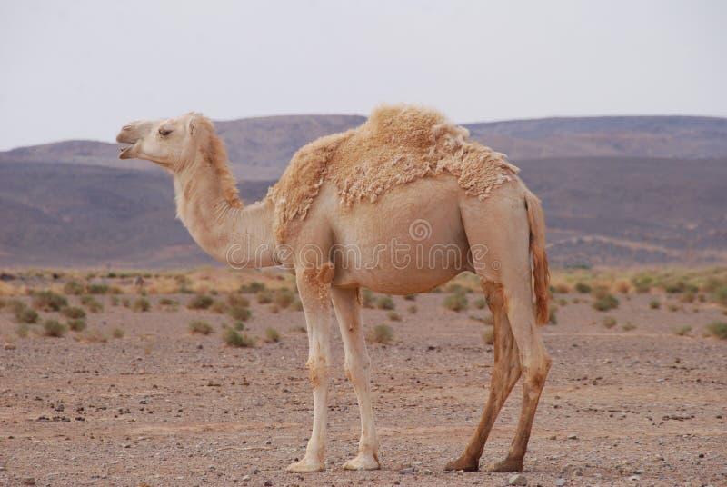 Caml в пустыне стоковая фотография