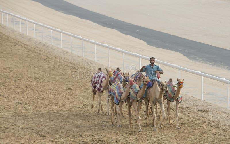 Cammelli in Al Khali Desert dello sfregamento al quarto vuoto, in Abu Dhabi fotografia stock libera da diritti