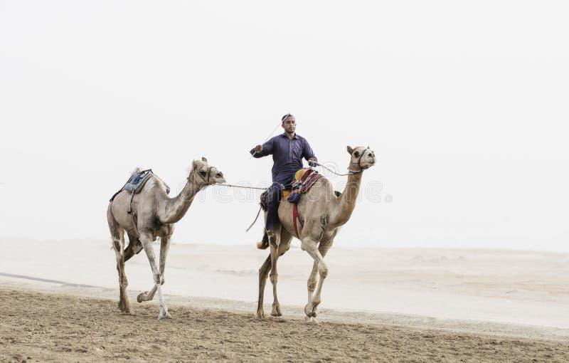 Cammelli in Al Khali Desert dello sfregamento al quarto vuoto, in Abu Dhabi immagine stock