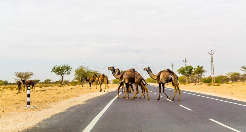 Cammelli che attraversano la strada immagine stock